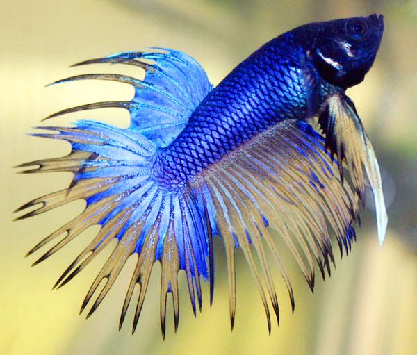 betta_fish1
